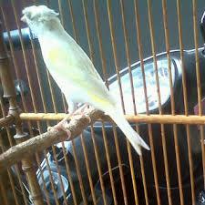 Burung Kenari - Solusi Penangkaran Burung Kenari -  Kode Ring Kenari Import Pada Negara Polandia
