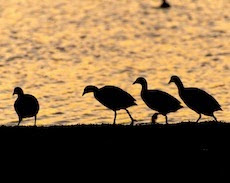Coots and Sundown