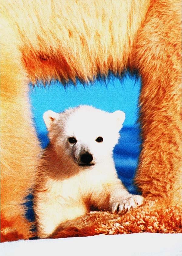 Полярный медвежонок с мамой