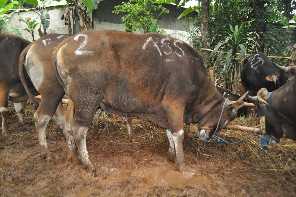 sapi untuk qurban