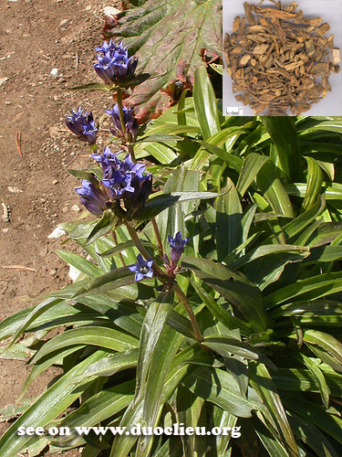 Gentiana macrophylla pall.