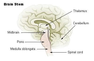 1 name the division of the brain that includes the midbrain pons and medulla oblongata Divisions of the human brain: 1 - myelencephalon, which includes  portions located in the spinal cord, medulla, pons, midbrain,  visceral afferent neurons are.