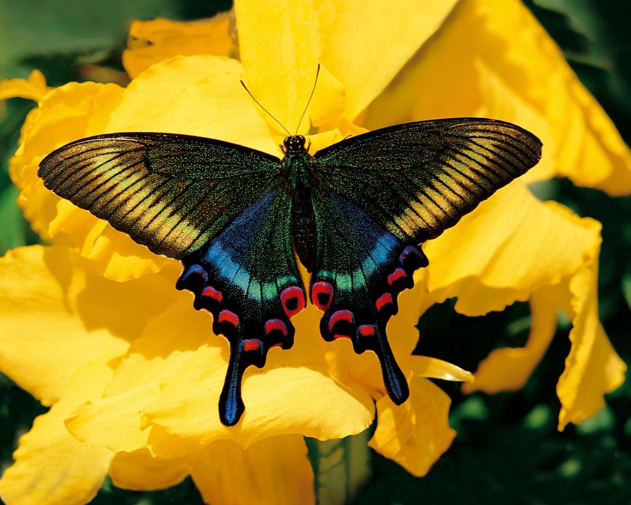 Tatouage papillon couleur Tatouage papillon 20 jolies  - tatouage papillon couleur