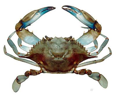 cangrejo azul Callinectes sapidus