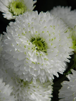 White pompon mum at the Allan Gardens Conservatory 2015 Chrysanthemum Show by garden muses-not another Toronto gardening blog