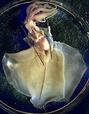 Magnapinna sp C specimen