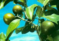 Pohon Strychnine