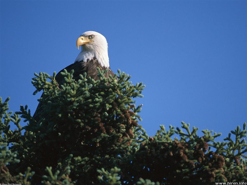 http://1.bp.blogspot.com/-P2BTxATQeYw/TjmQ3koqU5I/AAAAAAAAAPA/ydtf46F5d6Q/s1600/Bald+Eagle+Wallpapers+5.jpg