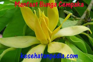 Manfaat Bunga Cempaka