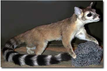 Are Ringtail Cats Good Pets