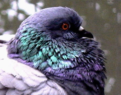 close up of blue bar pigeon