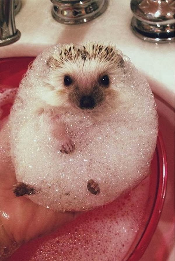 Funny animals of the week - 7 March 2014 (40 pics), hedgehog gets bubble bath