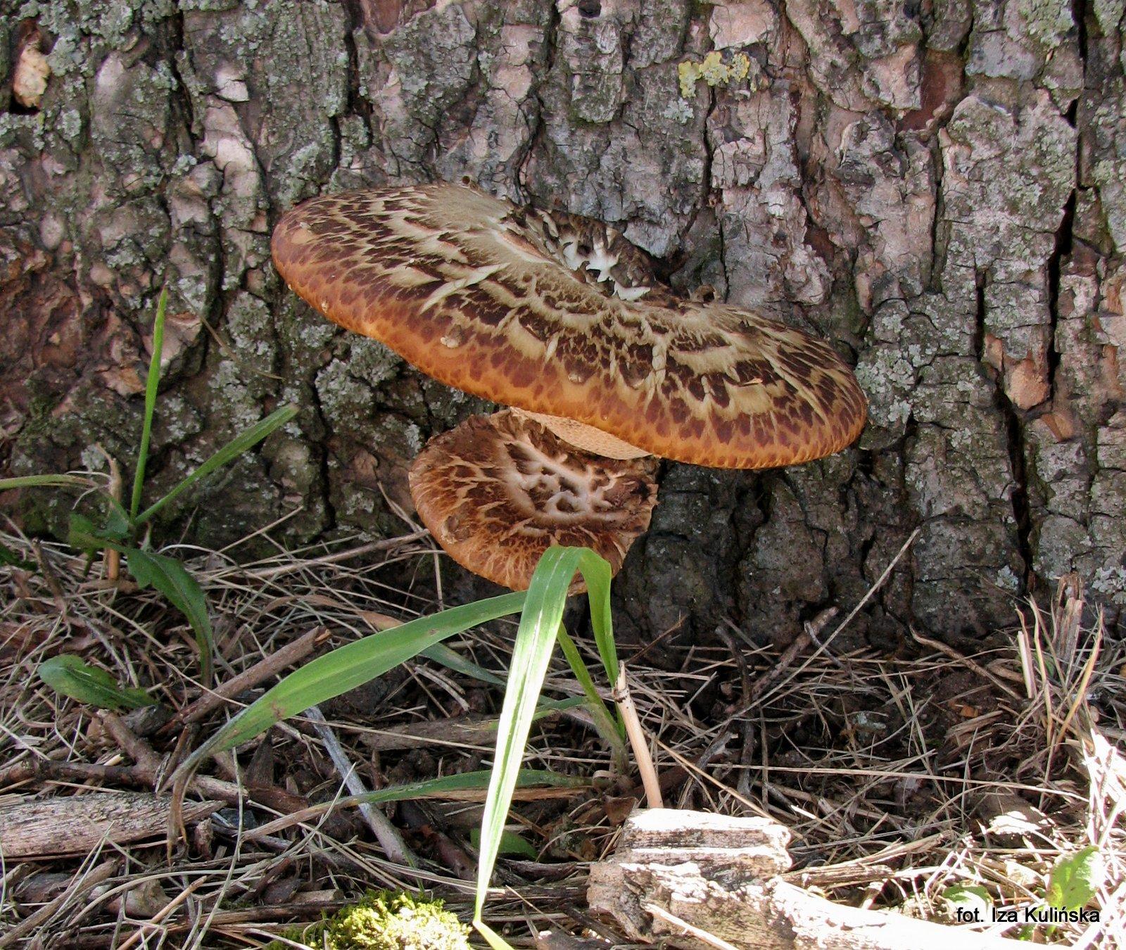 żagiew-grzyby-nadrzewniaki-jadalne