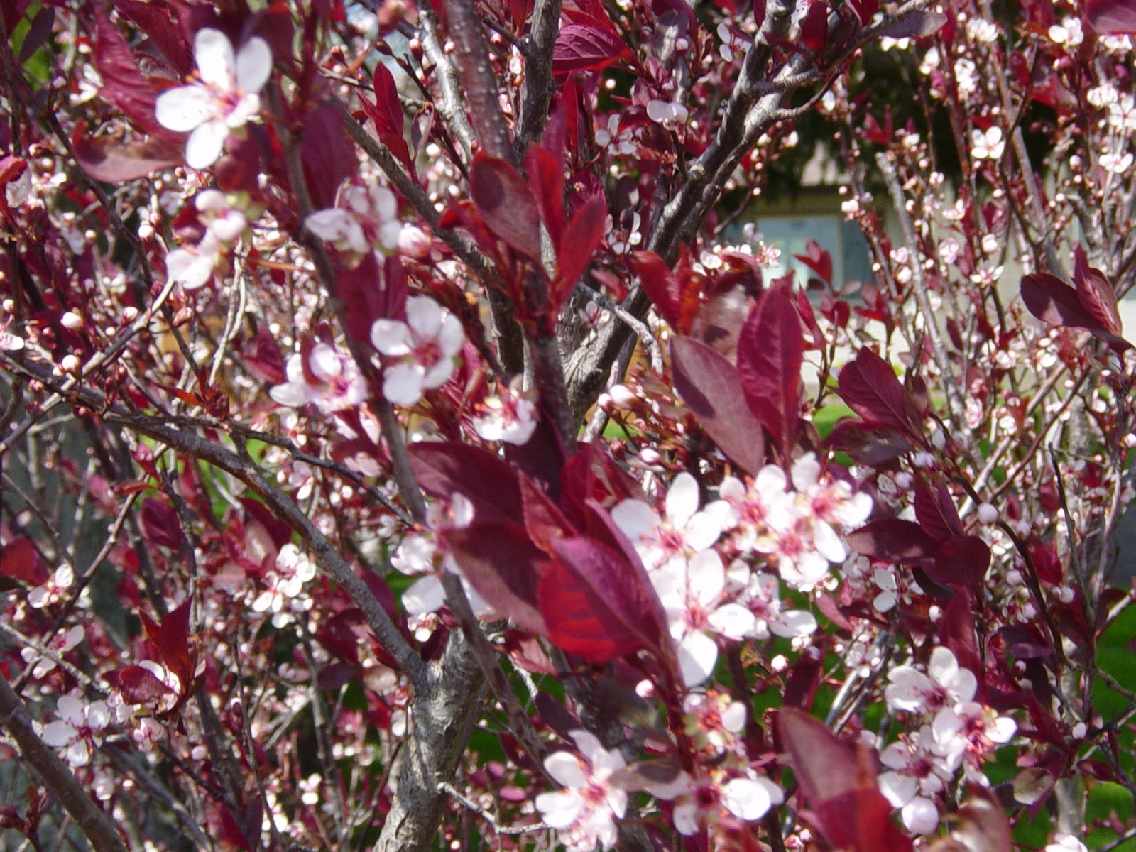 Red leaves white flowers choice image flower decoration ideas red leaves white flowers images flower decoration ideas shejunks apple blossoms this is a plum bush mightylinksfo Images