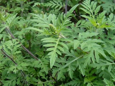 Pasidupes la canicule ok mais les allergies l 39 ambroisie alors - Poil a gratter plante ...