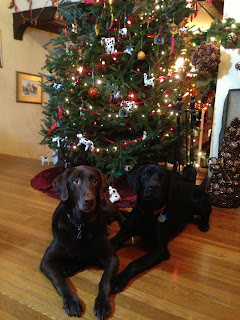 Willow is on the left and Coach on the right.  They are in front of a decorated and lit Christmas tree.  Coach has his paw on Willow's arm.  They are both in down stays and looking up at the camera.