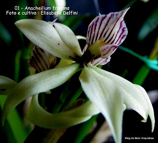 Prostechea fragans, Epidendrum fragans, Encyclia fragans, Epidendrum cochleatum, Epidendrum lineatum, Epidendrum viginatum.