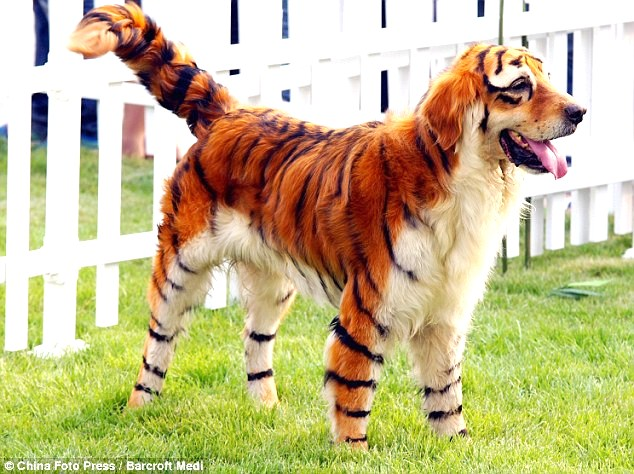 Meet Simba    errr    uh    Rover  Not to be confused with Dog That Looks Like A Tiger
