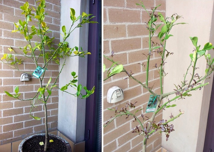 steps to keep kaffir lime tree healthy and producing leaves as a herb and spice in cooking
