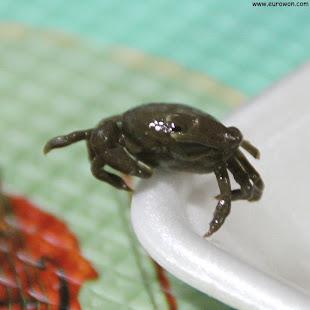 Cangrejo coreano encontrado dentro de un mejillón