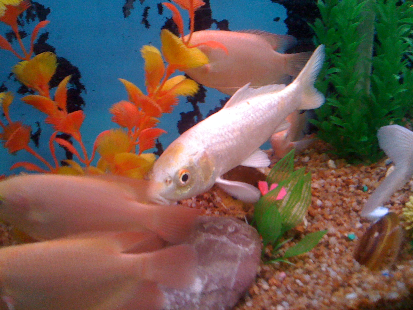 Huge aquarium fish for Pet koi fish tank
