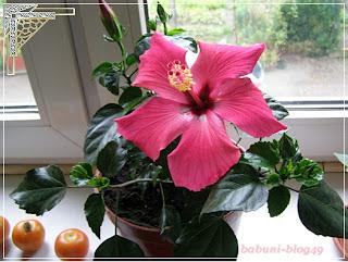 Hibiskus – kwiat jednego dnia