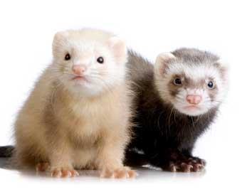 Most Popular Best Pets In The World - Ferrets