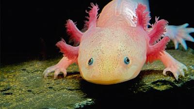 Axolotl (© John Cancalosi/Getty Images) 226