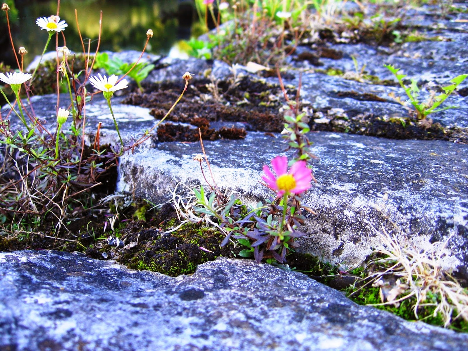 flowers growing through rocks in Cork Ireland