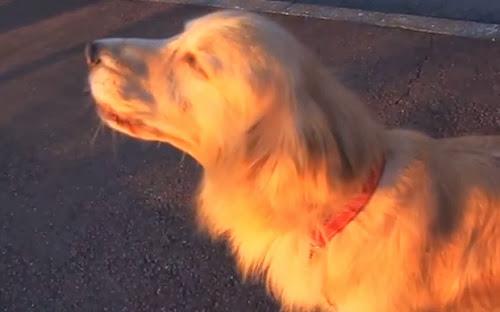 O cão que consegue imitar o som de um carro de polícias