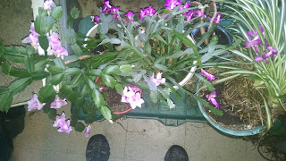 Christmas Cactus on Planet RantWoman
