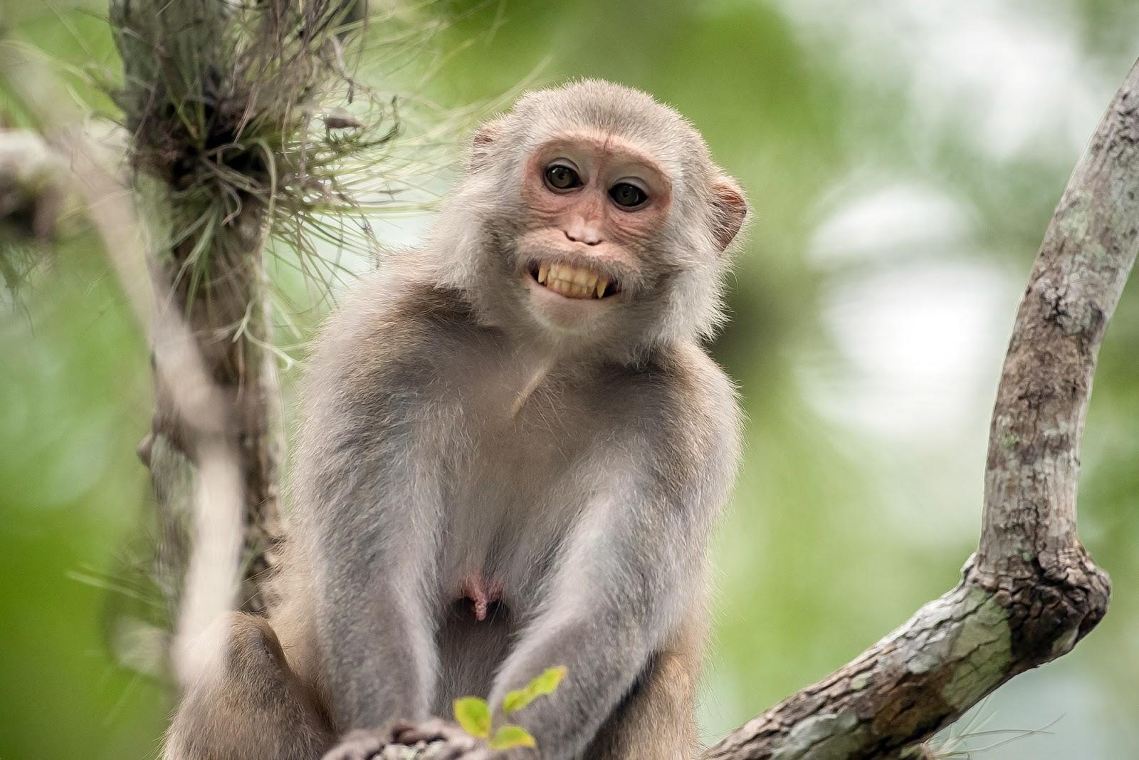 Kera adalah sejenis primata mirip orangutan namun lebih kecil ukurannya