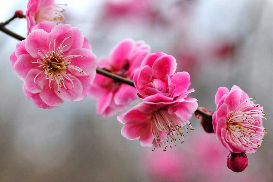 pink-bright-flowers-apricot-tree-image