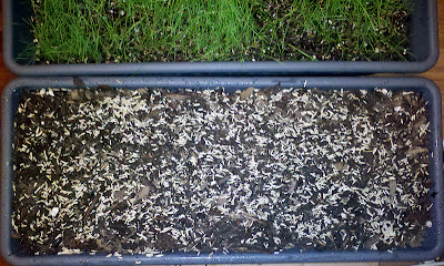 Mixing grass seed after adding to potting soil
