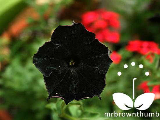 Black Cat Petunia, Burpee