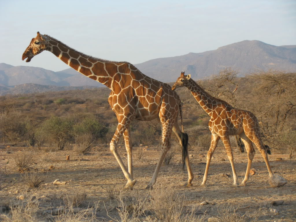 Giraffe M Giraffe | The B...