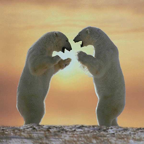 polar bears standing