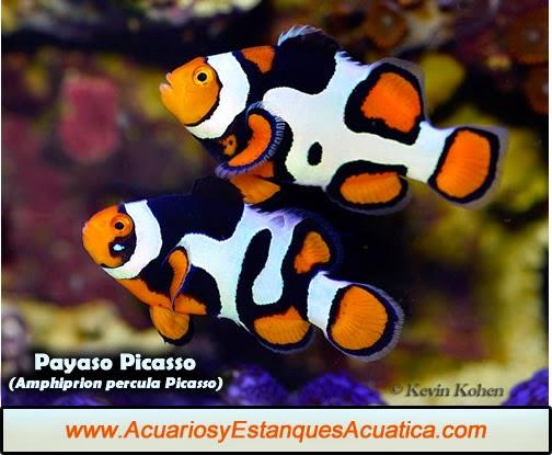 acuarios-estanques-acuatica-pez-payaso-picasso