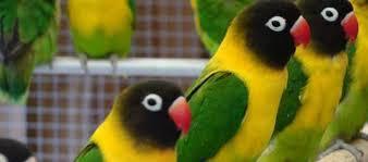 Perbedaan Lovebird Kacamata Dan Non Kacamata