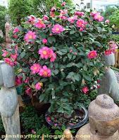 Plantas y flores camellia japonica - Cuidados de la camelia japonica ...