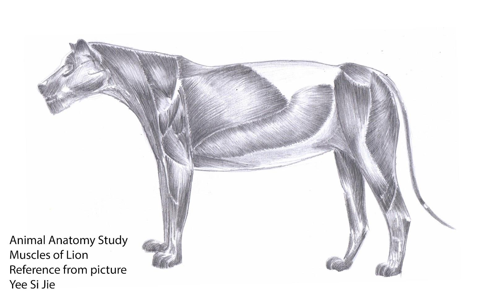 Lion muscle anatomy 395730 - follow4more.info