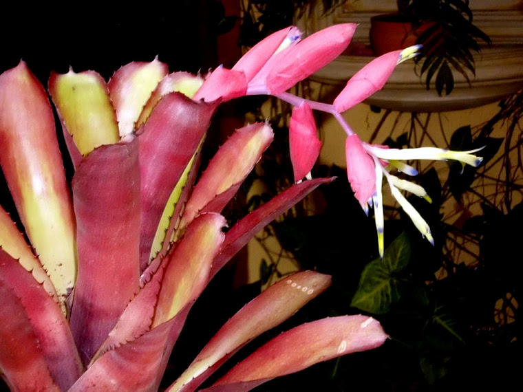 Billbergia,, Fay Johnson