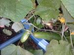 Thyme's Cucumbers