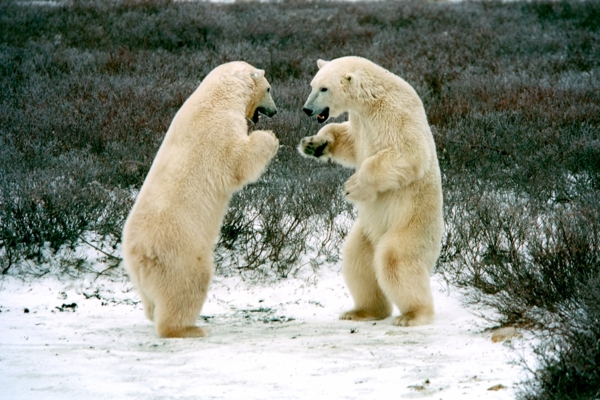polar bear photo pics endangered species