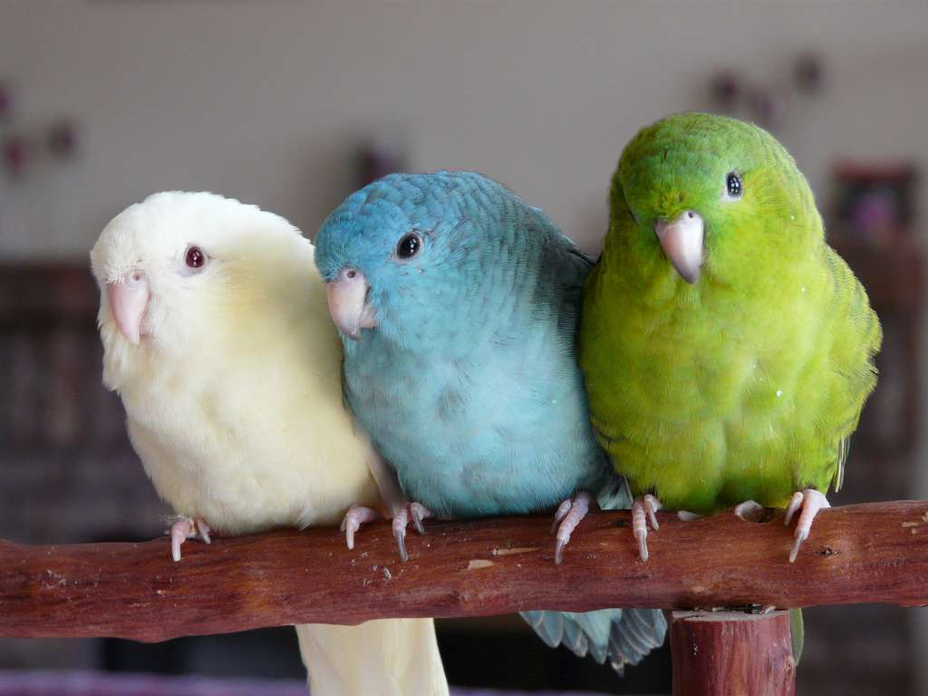Lineolated Parakeet birds