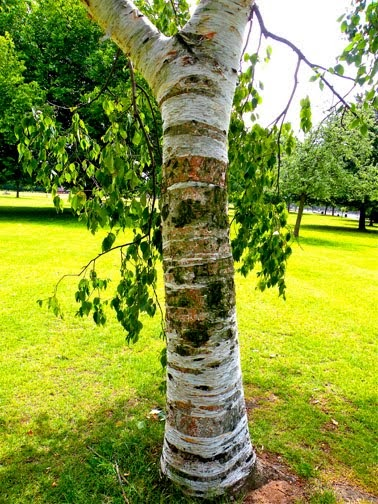 Treeaware silver birch trees for Silver birch trees for small gardens