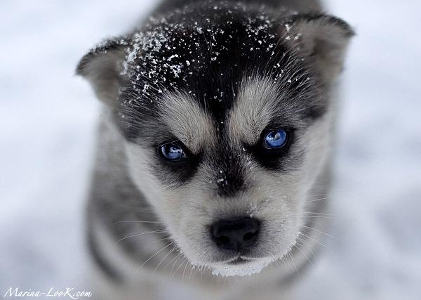 http://1.bp.blogspot.com/-P7InrQN1LMI/UFQtPvTiH4I/AAAAAAAAAB8/NIsKHqWaSZc/s1600/husky_puppy.jpg