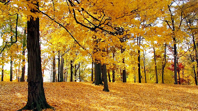 Yellow Forest Autumn Trees Mind Refreshing Wallpapers