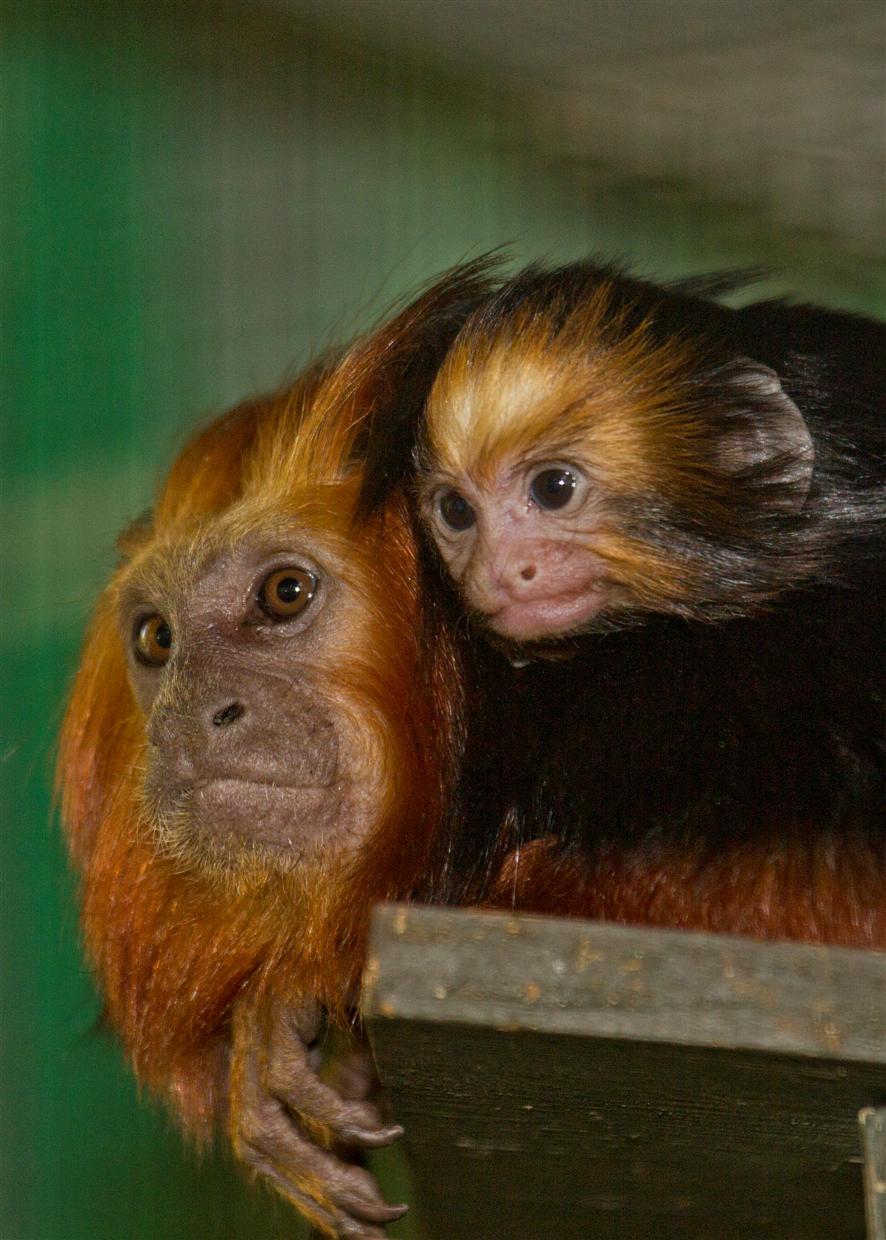 primates in the santa ana zoo The new infant is the third birth of this species at the santa ana zoo crested capuchin monkeys are a medium sized primate native to santa ana zoo santa ana.