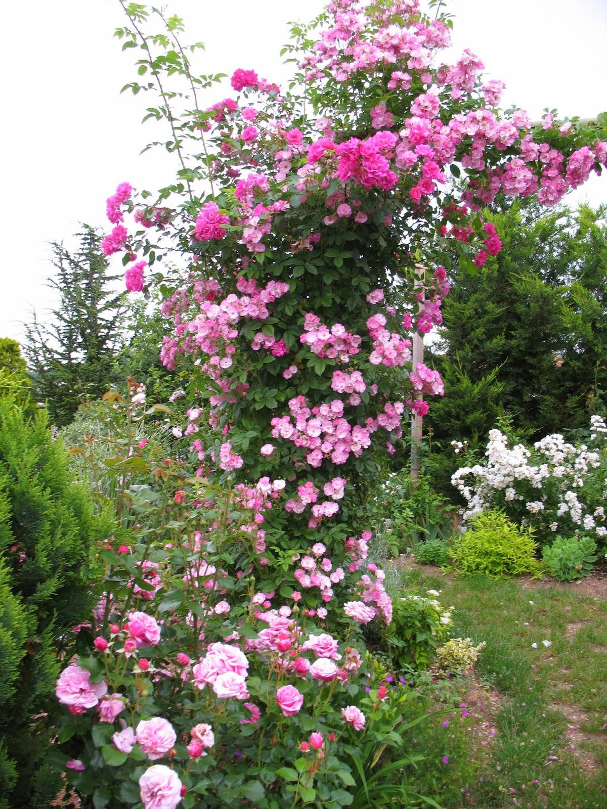Roses du jardin ch neland mme solvay un rosier revoir - Taille rosier liane ...